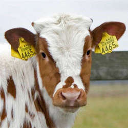 cow-ear-tag